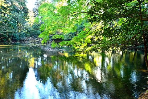 シラヌタの池/シラヌタの大杉