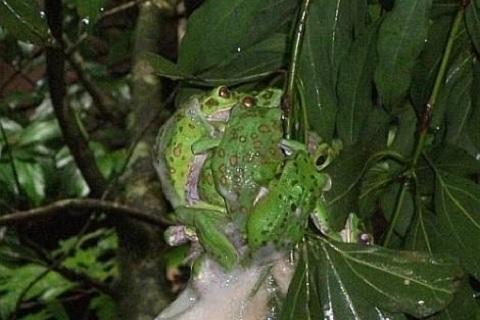 シラヌタの池 モリアオガエル産卵