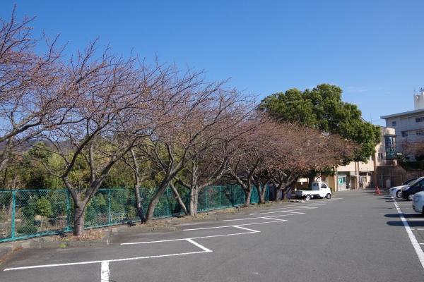 201502sakura5.JPG
